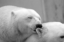 Polar Bear, Bear, Animals, White, Love, Affection