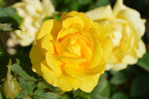 Rose Jaune, Fleur, Nature, Rose Jaune