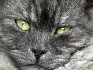 猫, キャッツ ・ アイ, かわいい, 子猫, 動物, グレー, ふわふわ猫