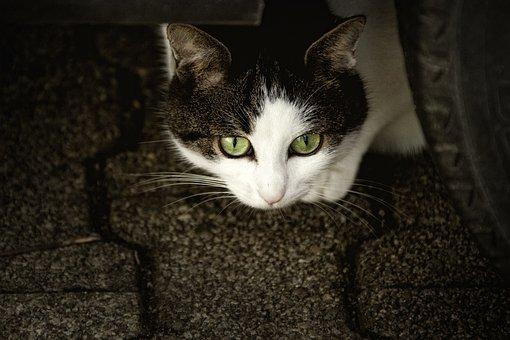 猫, Scheu, 猫の目, 気になります, 動物