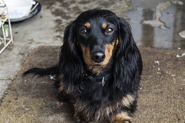Free Photo Dog Dachshund Pet Animal Puppy Free