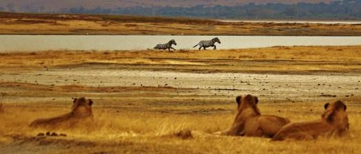 Zebras, Lions, Serengeti, Tanzania, Africa, Safari