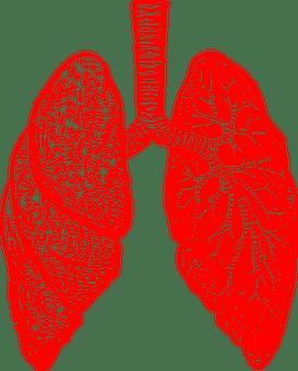 Phổi, Giải Phẫu, Thở, Viêm Phế Quản
