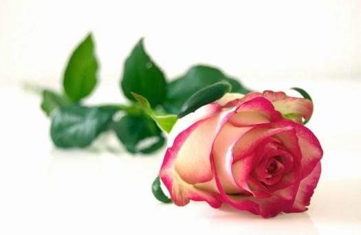 Rosa, Fiori, Fiore, Bellezza, Romantica, Colore