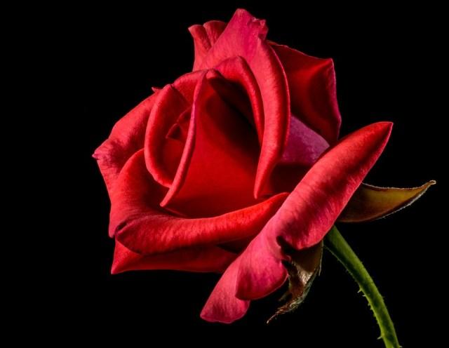 Red Rose, Rose, Rose Bloom, Blossom, Bloom, Flower, Red,Rose Farming in Hindi