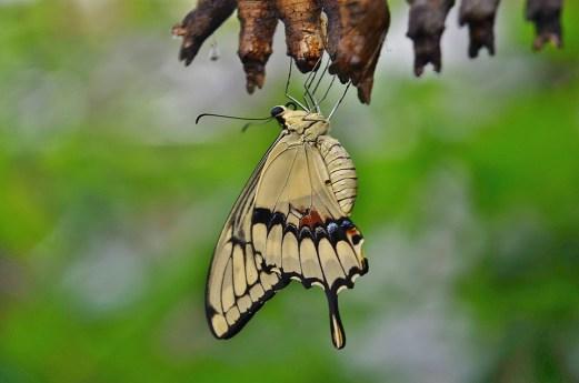アゲハチョウ, 繭, 幼虫, 昆虫の幼虫, マクロ, 自然, Parides Iphidamas, 蝶