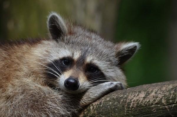 Free photo: Raccoon, Bear, Zoo, Saeugentier - Free Image ...