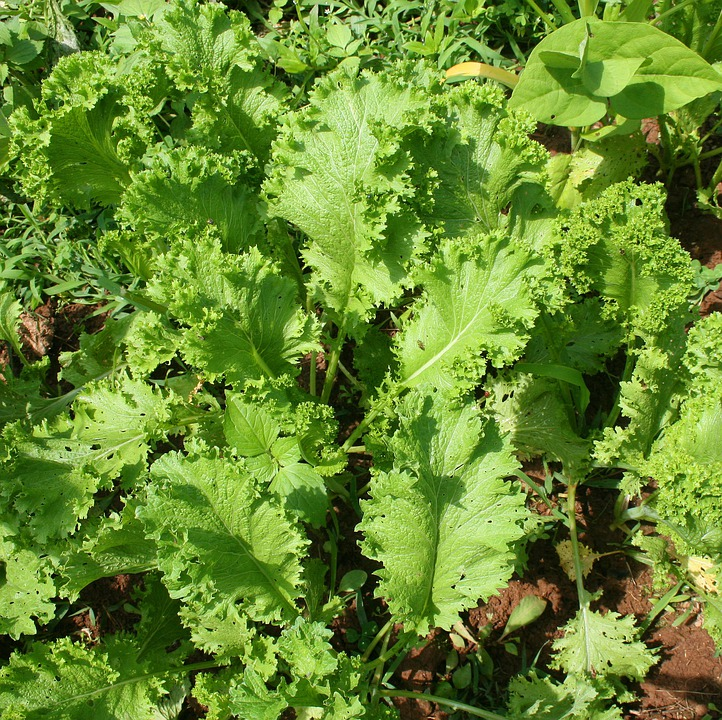 Gardening, Mustard Greens, Leaves, Green, Garden