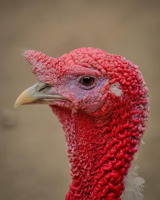 Free Photo Turkey Profile Picture Bird Free Image On