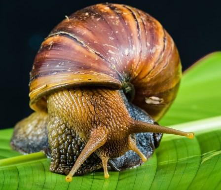 Health benefits of snails
