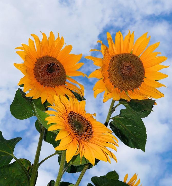 Free Photo Sunflower Flowers Yellow Summer Free