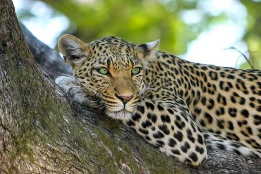 Leopardo, Gatto Selvatico, Gatto Grande, Botswana