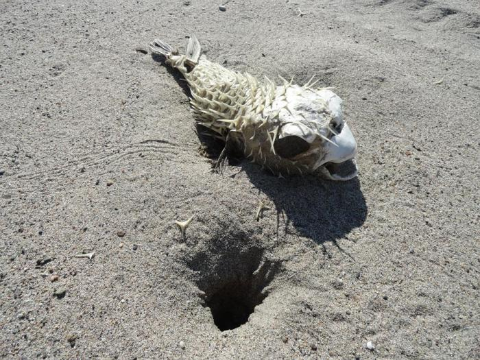 Pufferfish, Skeleton, Tetraodontidae, Animal, Dead