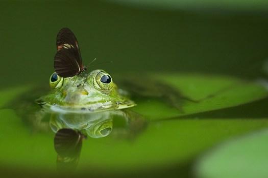 Rana, Farfalla, Stagno, Mirroring, Natura, Acqua