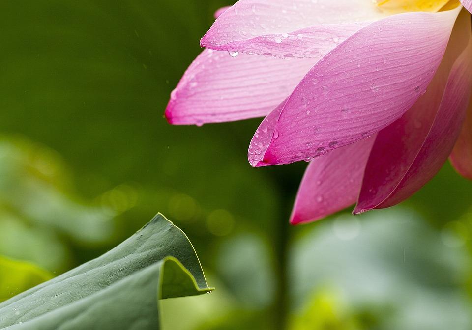 Free Photo Lotus Flowers Nature Lotus Leaf Free