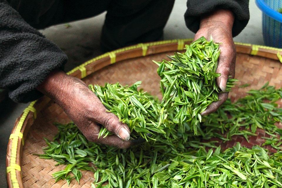 茶, 手, 新鮮な, 緑, 葉, 乾燥, 収穫