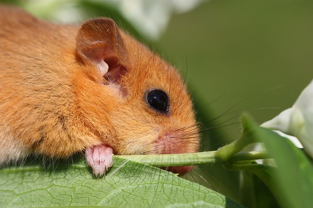 Free Photo The Dormouse Animal Branch Cute Free