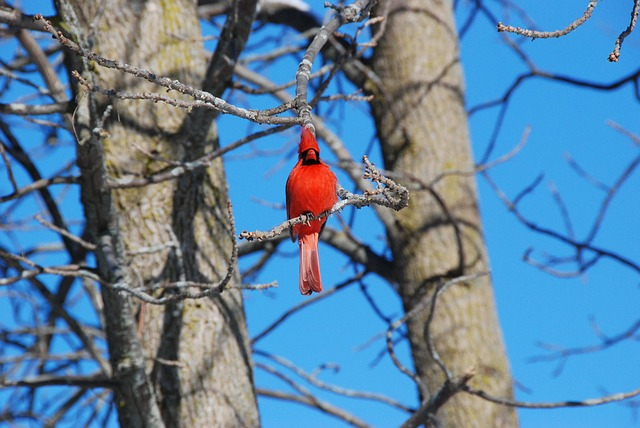 Free Photo Cardinal Red Tree Bird Nature Free Image