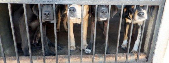 Dogs, Cage, Sad, Pound