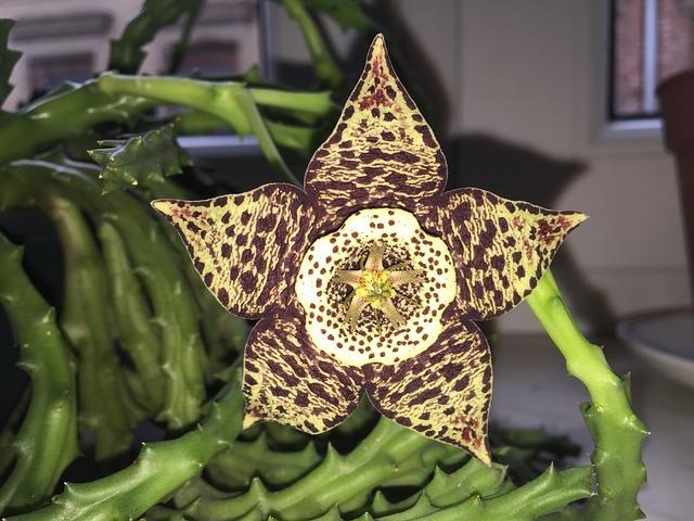 Free Photo Sheriff Star Succulent Flower Free Image