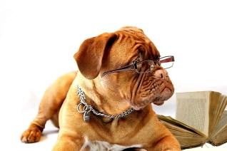 犬, ボルドー·マスティフ, マスチフ, クラレット, ブルゴーニュ, 子犬, 彼女, 女性, オフィス、