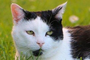 草, 動物, ペット, 猫, 頭, 白黒