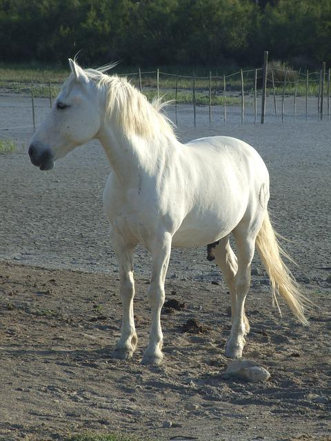 Photo Gratuite Cheval Camargue France Image Gratuite
