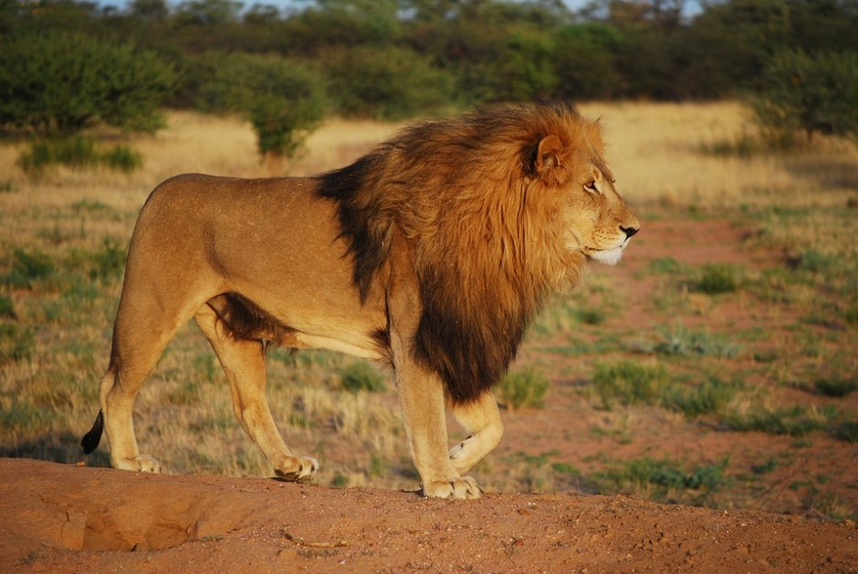Lion, Pride, Predator, Mane, Big Cat