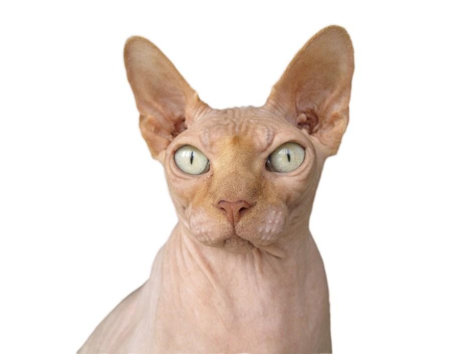 Image result for Sphynx Cat
