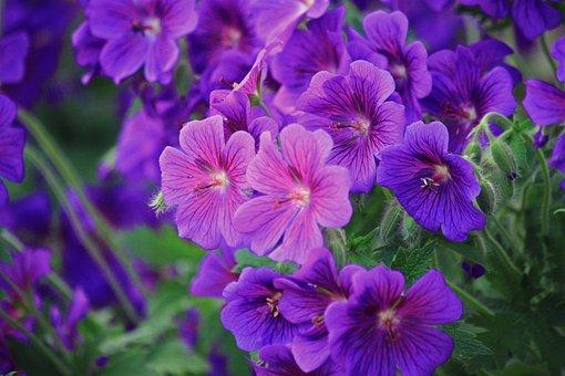 Geranium, Fleurs, Fleur, Bleu, Fermer
