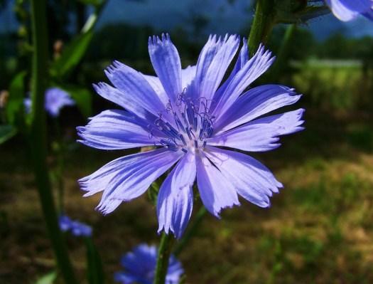 Gambo Di Intybus Cicoria, Fiore Blu Chiaro