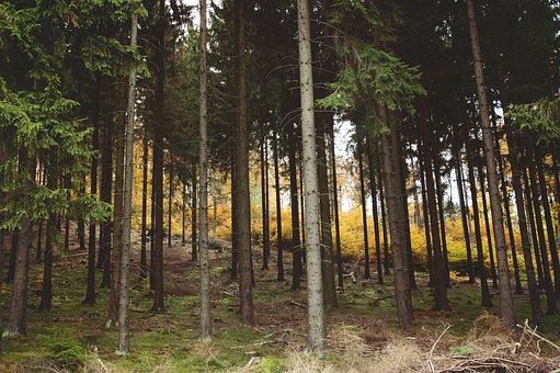 Woods, Wild, Wilderness, Aspen, Birch