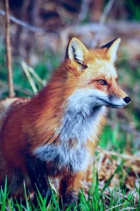 Nature, Animaux, Fuchs, Hunter, Smart, Ruse
