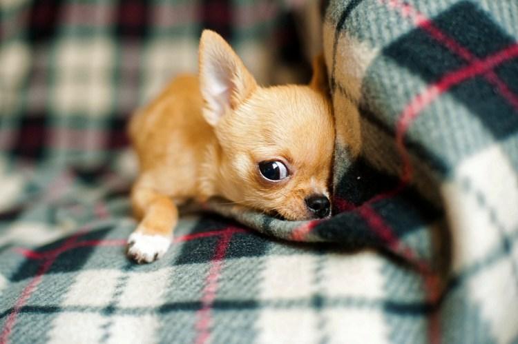 Cachorro Chihuahua, Chihuahua, Cão, Pequenas, Bonito