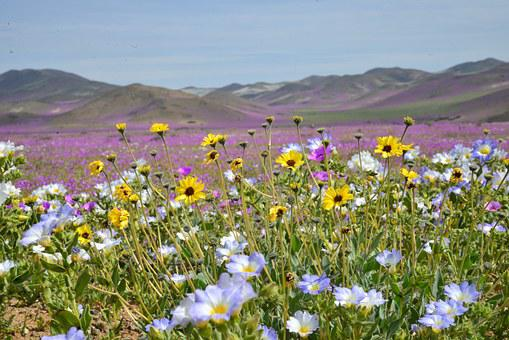Desert Flower Images      Pixabay      Download Free Pictures Hills Flowering Desert Flowers Purple Flow