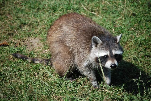 Free Photo Raccoon Cute Wildlife Park Free Image On