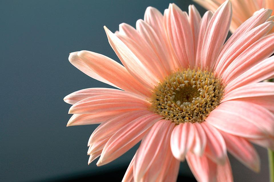 Gerbera Daisy Flower Plant      Free photo on Pixabay gerbera daisy flower plant nature ornamental