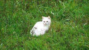 猫, 白い子猫, ペット