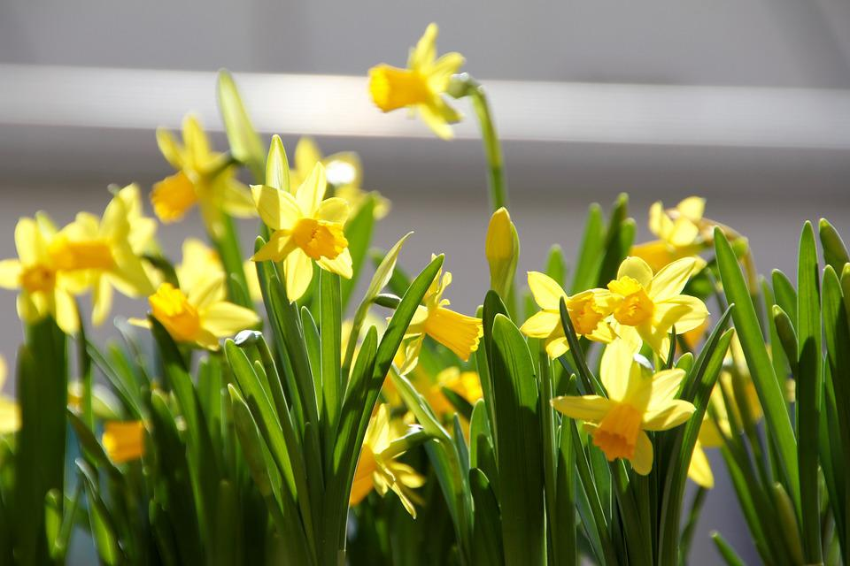 Easter Flowers Spring      Free photo on Pixabay easter flowers spring yellow flower box cowslip