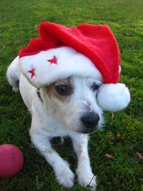 Merry Christmas Jack Russel Free Photo On Pixabay