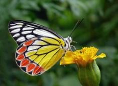 Papillon, Butine, Bouton De Fleur, Jaune, Feuillage