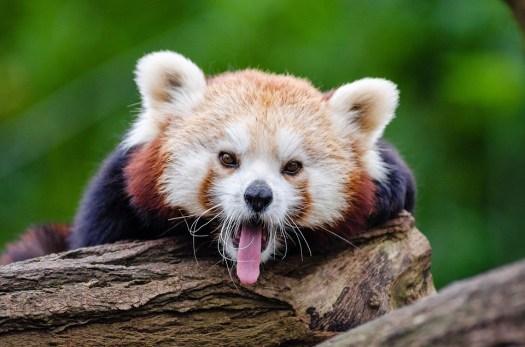 Panda Rosso, Sbadigli, Curioso, Piccolo Panda