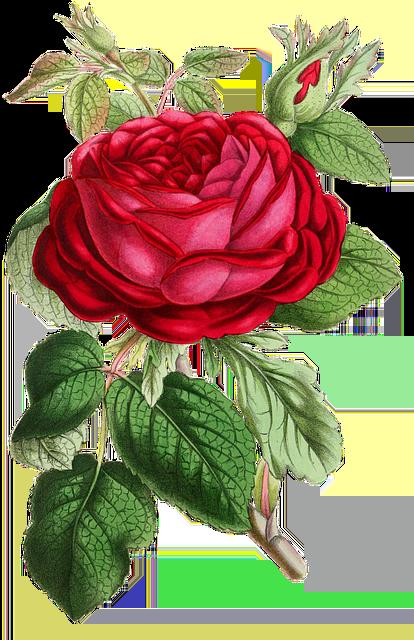 Rose Flower Flowers Free Image On Pixabay