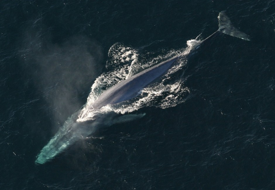 blue whale - heaviest animal in the world