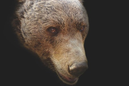 Bear, Bear Head, Artistic, Portrait, Head, Animal