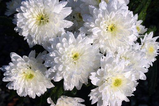 Chrysanthèmes, Chrysanthème, Bloom