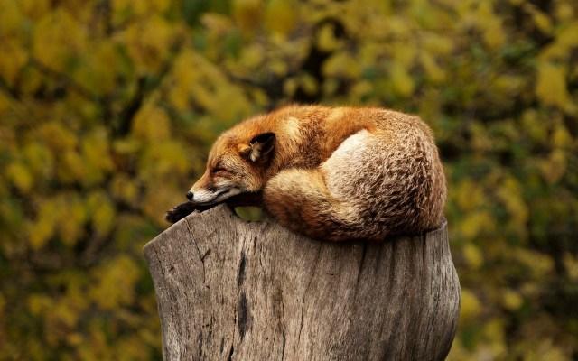 Zorro durmiendo