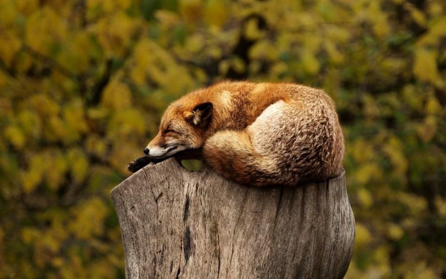 フォックス, 眠っている, 休憩, リラックス, 赤, 動物, 野生, 野生動物, 自然, 哺乳動物