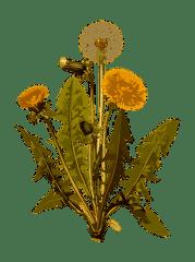 Pissenlit, À Base De Plantes