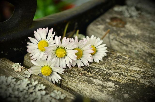 Daisy Bank Weathered 183 Free Photo On Pixabay